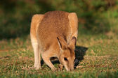 Wallaby ágil — Foto Stock