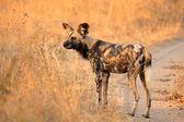 Afrikanischer wildhund — Stockfoto