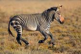 Cape dağ zebrası — Stok fotoğraf