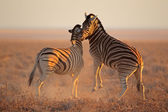 Fighting Zebras — Stock Photo