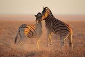 Luta das zebras — Foto Stock