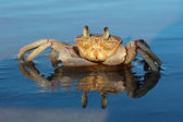 Ghost crab on beach — Stock Photo