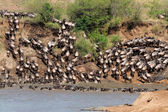 Wildebeest migration — Stock Photo