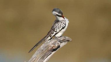 Red-billed hornbill — Stock Video