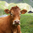 Alpine cow — Foto de stock #12179525
