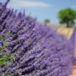 Field of lavender in Valensole, Provence - Stock Photo
