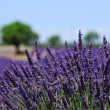 Field of lavender in Valensole, Provence — Stock Photo