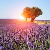 Fältet lavendel i valensole, provence — Stockfoto