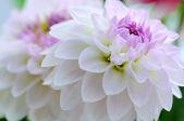 Dahlia background — Stock Photo