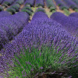 Stock Photo: Lavender field in Provence, France
