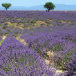 Lavender field in Provence, France — Stock fotografie #13665392