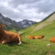 Stock Photo: Alps cow