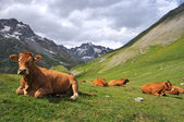 Alps cow — Stock Photo