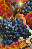 Red grape with autumn foliage — Stock Photo