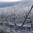 Vineyard in winter. Germany — Stock Photo