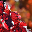 Red vine autumn leaves background — Stock Photo