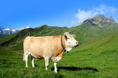 Alpler inek — Stok fotoğraf