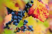 Red grapes with autumn leaves — Stock Photo