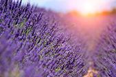 Lavendelfält, provence, frankrike — Stockfoto