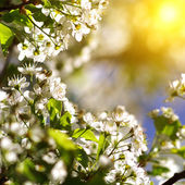 Spring blossom — Stock Photo