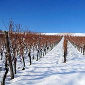 Winter vineyard, Germany — Stockfoto