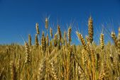 Wheat field with blue sky in background — Stock Photo