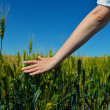 Hand in wheat field — Stock Photo #27470067