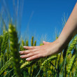 Hand in wheat field — Stock Photo #27470095