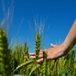 Hand in wheat field — Stock Photo #27470163