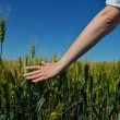 Hand in wheat field — Stock Photo