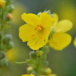 Yellow wild flower  — Stock Photo