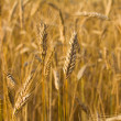 Field with ripe rye — Stock Photo