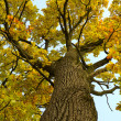 Oak tree in autumn — Stock Photo