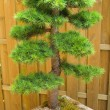 Dwarf cedar — Stock Photo