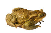 Big frog — Stock Photo