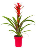 Bromelia plant in pot — Stock Photo