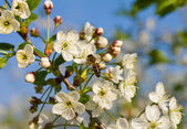 Honeybee pollinating flowers of cherry — Stock Photo
