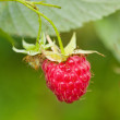 Branch of ripe raspberry - Stock Photo