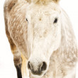 Dappled white horse — Stockfoto