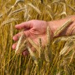 Ears of ripe wheat in hand — Stok fotoğraf