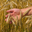 Ears of ripe wheat in hand — Stockfoto