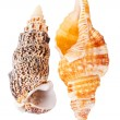 Two seashells — Stock Photo