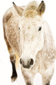 Dappled white horse — Stock Photo