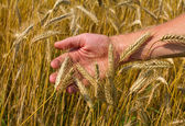 Ears of ripe wheat in hand — Стоковое фото