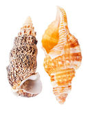 Two seashells — Stock Photo