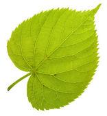 Linden leaf — Stock Photo