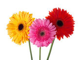 Three gerberas — Foto Stock
