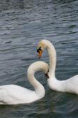 Dwa łabędzie w miłości — Zdjęcie stockowe