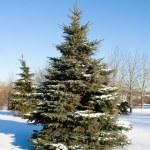 Winter fir tree — Stock Photo #3913873