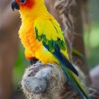 Stock Photo: Aratinga